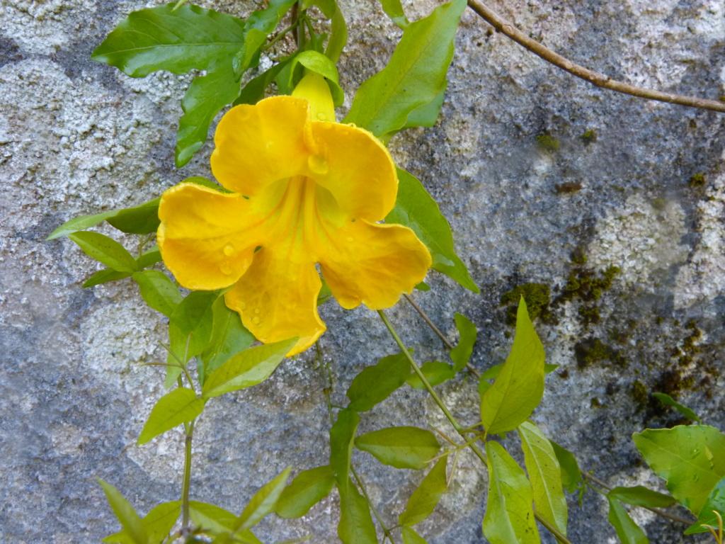 Macfadyena unguis-cati Macfad13