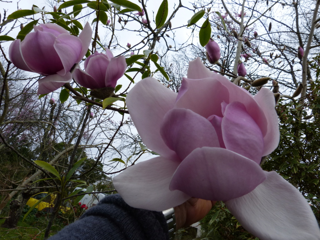 brins de printemps Magnol14