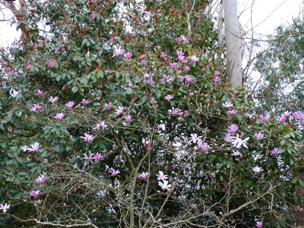 brins de printemps Magnol17