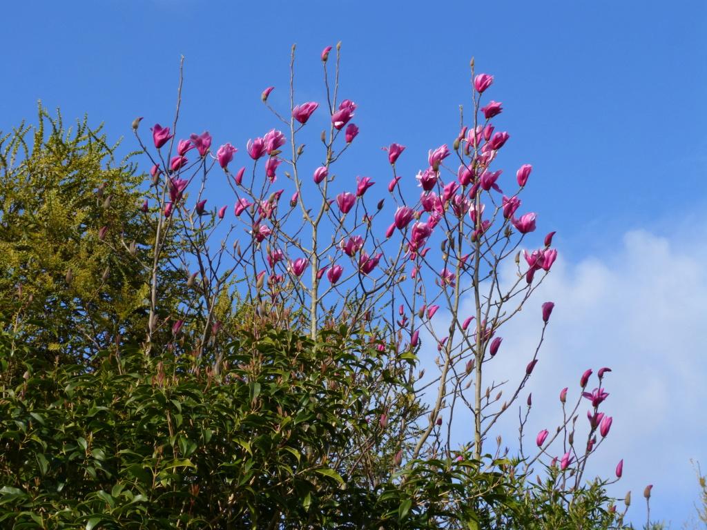 Acacia pravissima - mimosa Magnol18