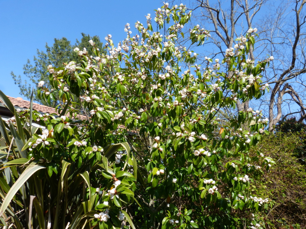 Magnolia x bubbles (= Michelia x bubbles) Michel17