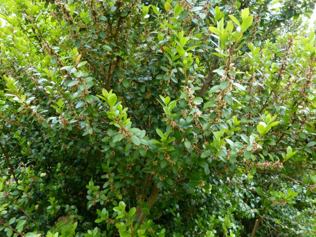 Myrsine africana - buis africain Myrsin10