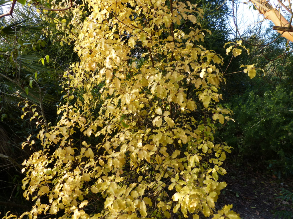 rusticité de Pittosporum tenuifolium Pittos10