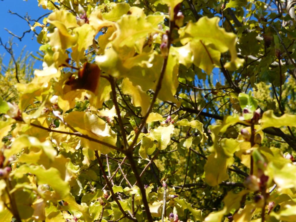 rusticité de Pittosporum tenuifolium Pittos11