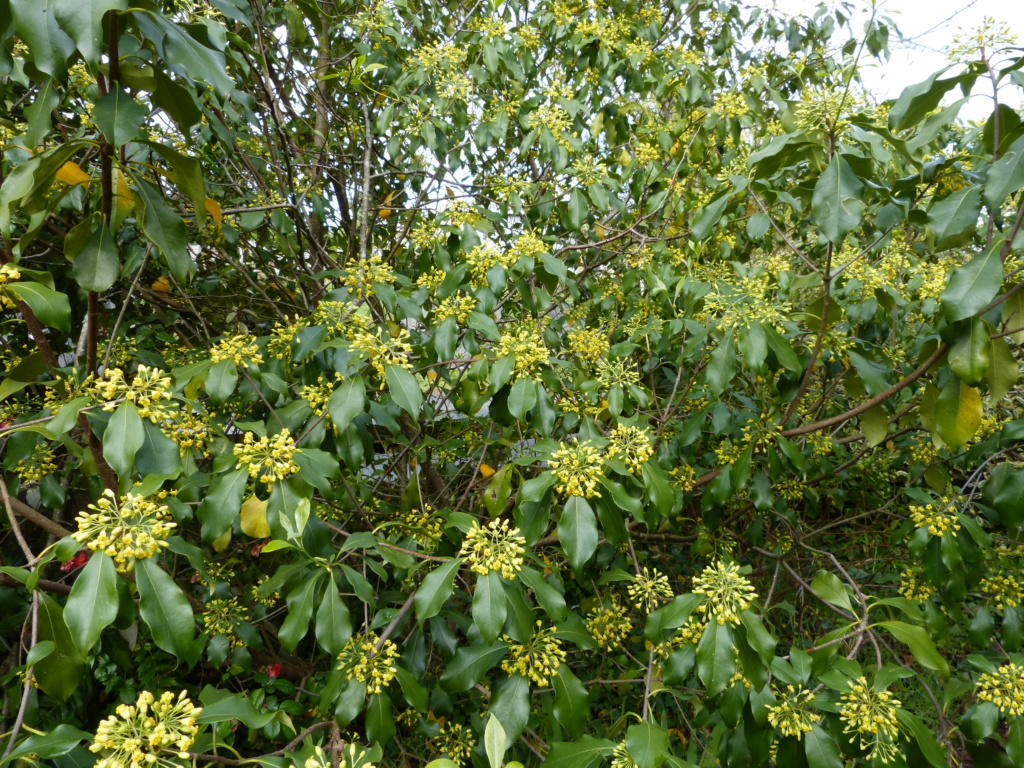Pittosporum brevicalyx Pittos14