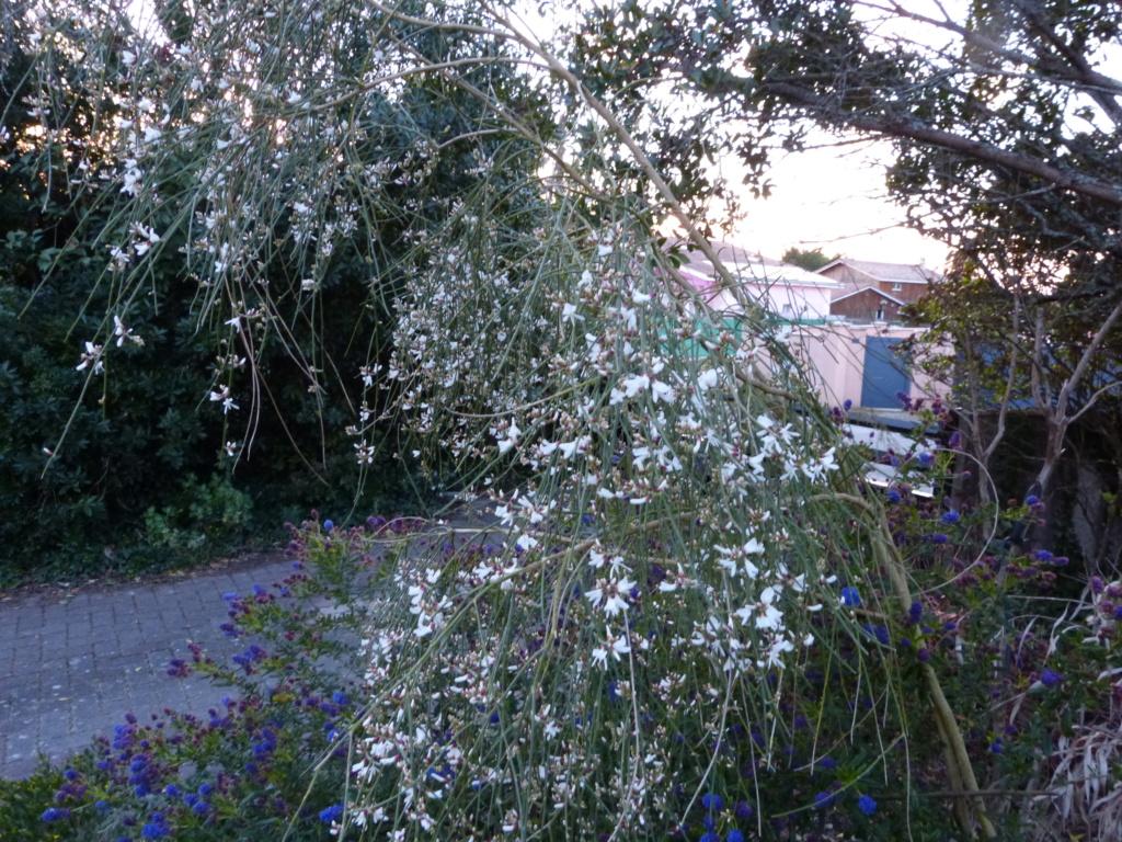 brassées fleuries Retama11