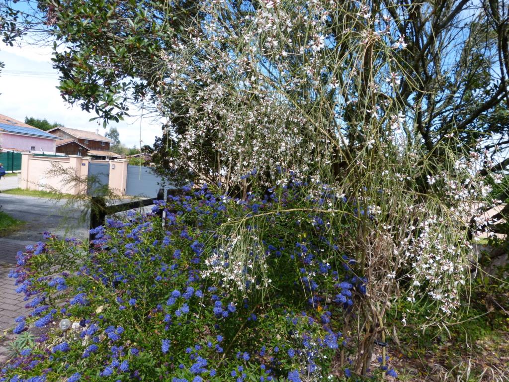 brassées fleuries Retama14