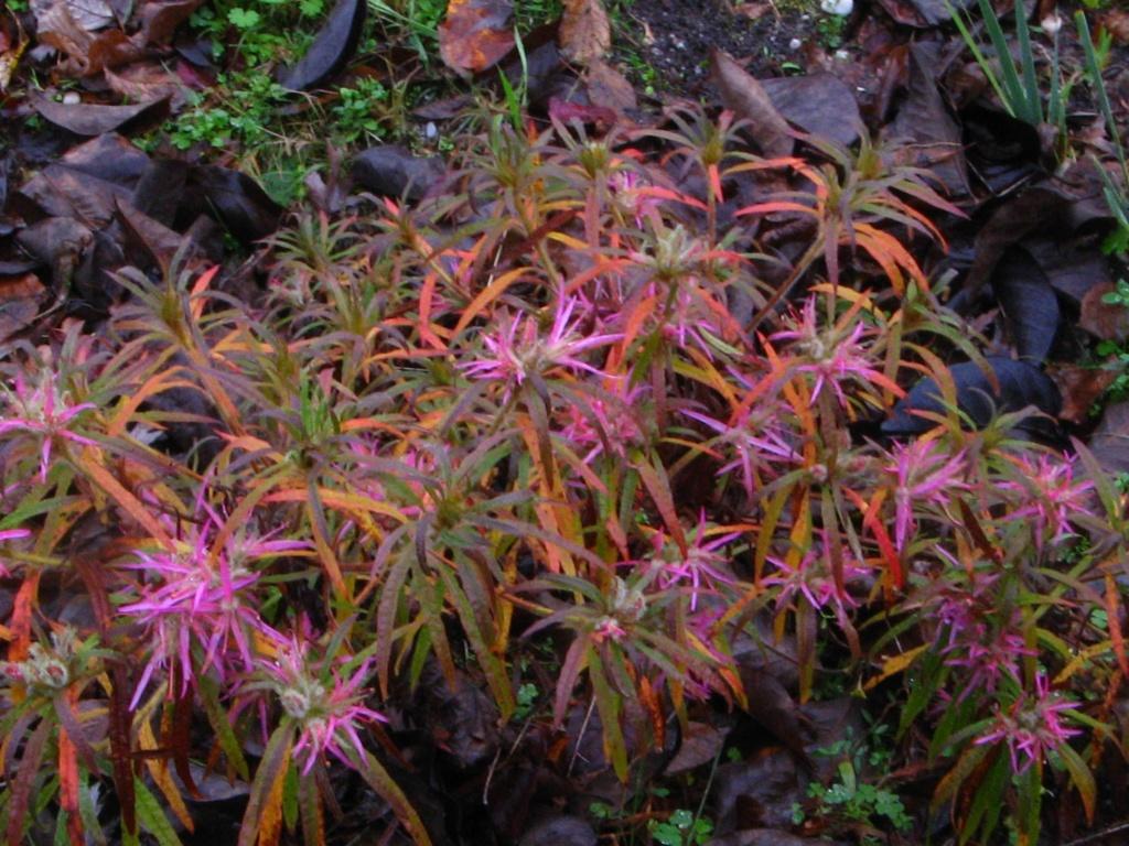 Citharexylum spicatum, Schima superba, Rhododendron macrosepalum linearifolium, Melaleuca huegelii [devinette] Rhodod13