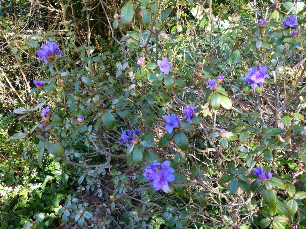 brassées fleuries Rhodod18