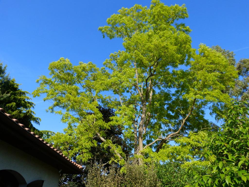Robinia pseudoacacia - robinier faux acacia  Robini10