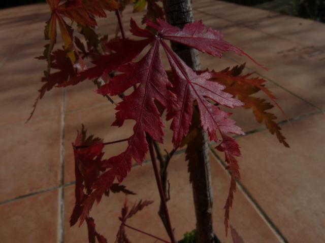 Couleurs d'automne - 2018 Acer_s10