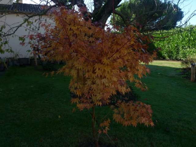 Couleurs d'automne - 2018 Acer_s11