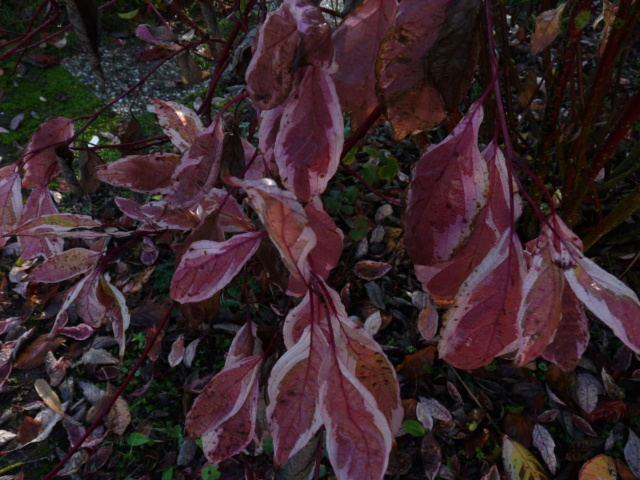 Couleurs d'automne - 2018 Cornou10