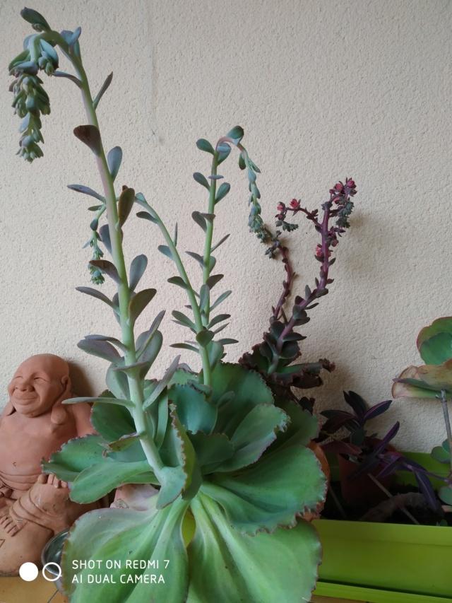 Echeveria gigantea et variabilité Echeve12