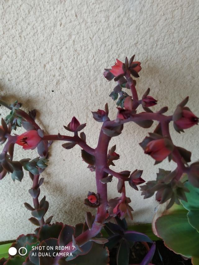 Echeveria 'Red Ruffle' (= 'Chocolat Ruffle') Echeve16
