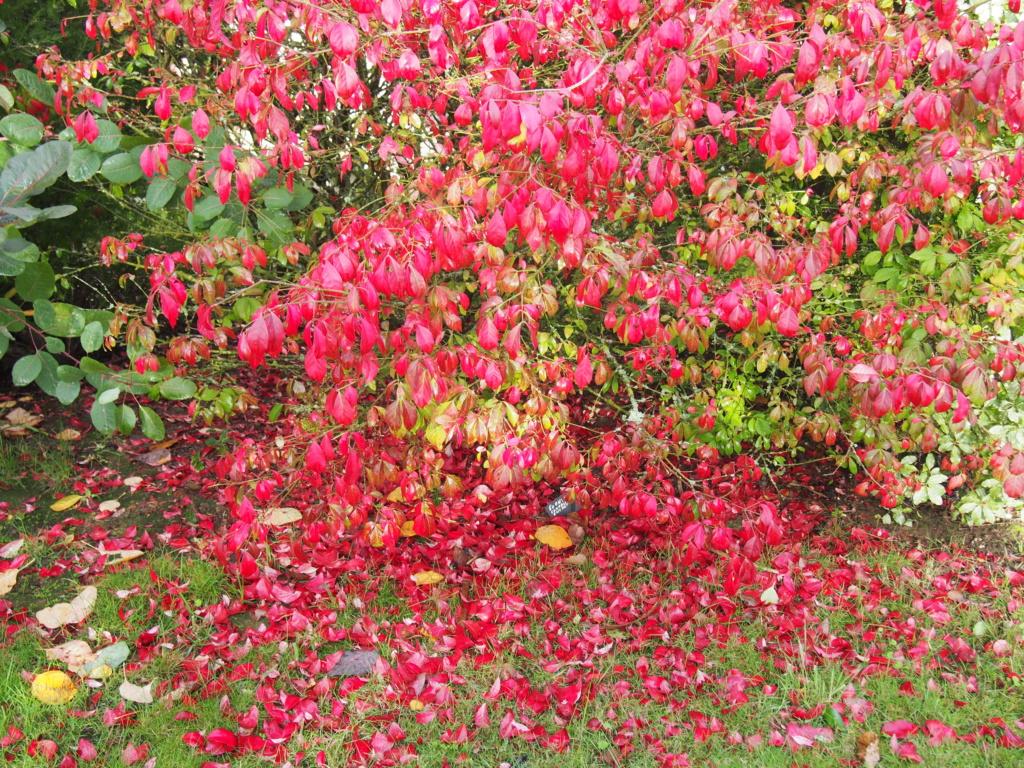Couleurs d'automne 2019 Euonym10