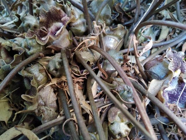 Asarum splendens - gingembre sauvage de Chine  Img_2032