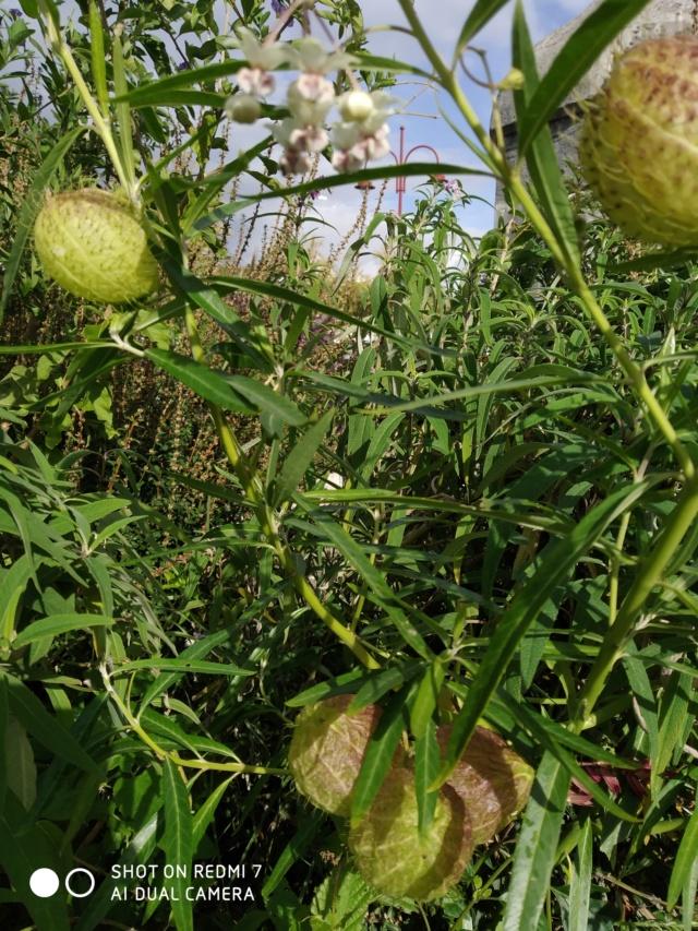 Identification vivace ou annuelle-Gomphocarpus fruticosus [Identification] Img_2055
