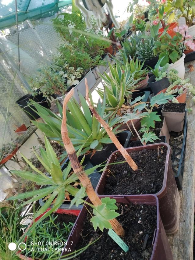 Hivernage de vos plantes 2020 Img_2097