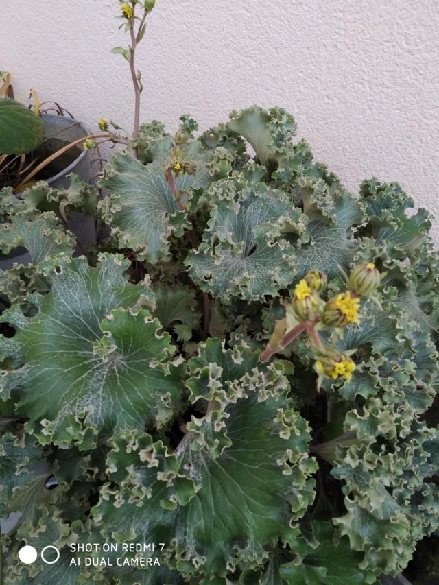 Farfugium japonicum (= Ligularia kaempferi) - Page 5 Img_2104