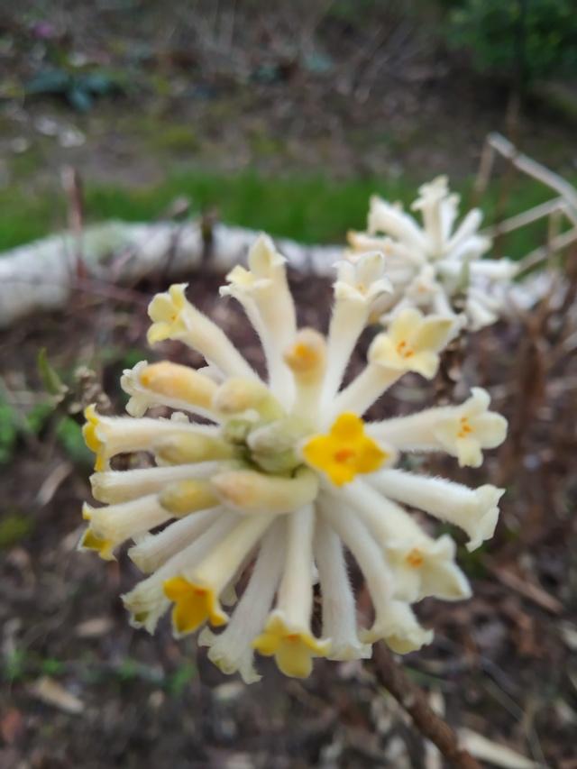 Edgeworthia tomentosa (= Edgeworthia chrysantha) Img_2115