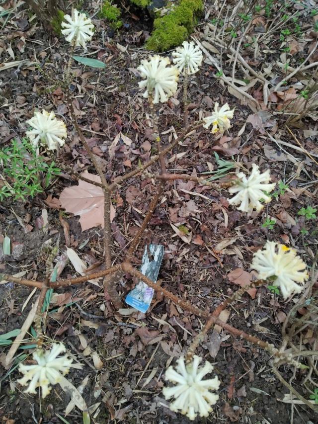 Edgeworthia tomentosa (= Edgeworthia chrysantha) Img_2116