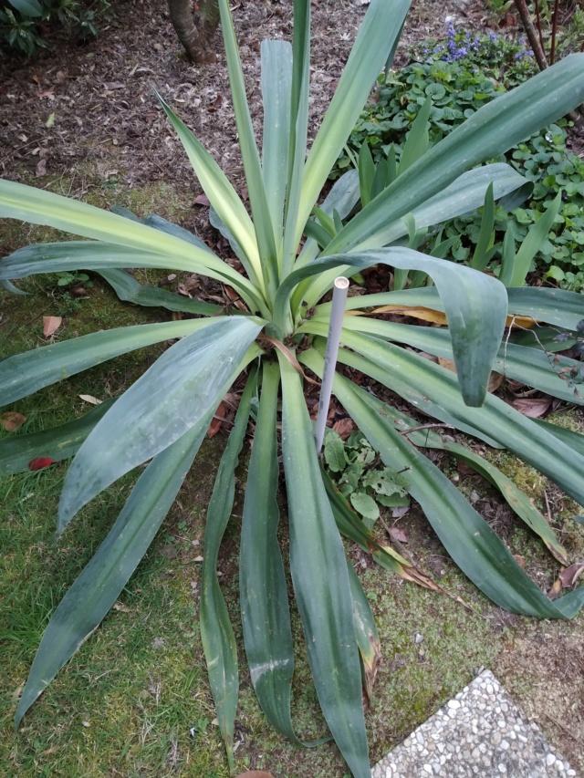 Beschorneria yuccoides - Page 7 Img_2118