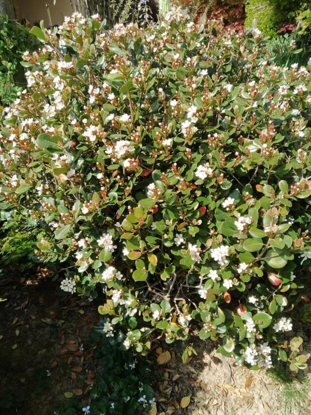 Arbuste en fleurs à identifier  Img_2120