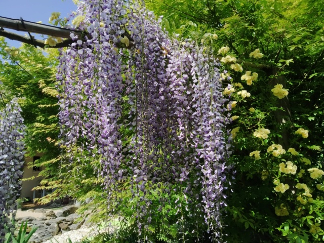Wisteria - les glycines  - Page 10 Img_2121
