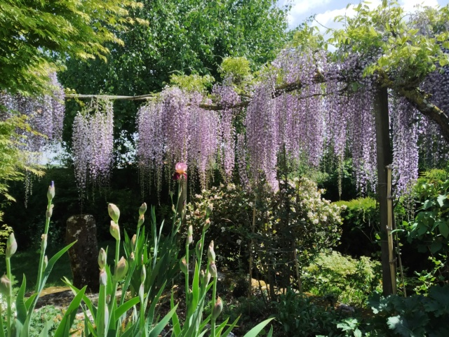 Wisteria - les glycines  - Page 10 Img_2122