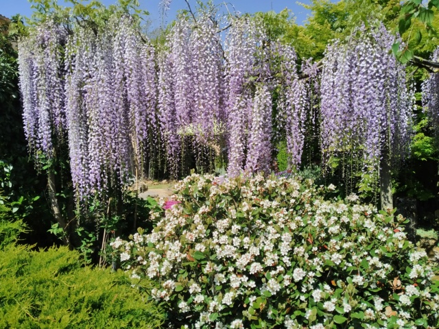 Wisteria - les glycines  - Page 10 Img_2123