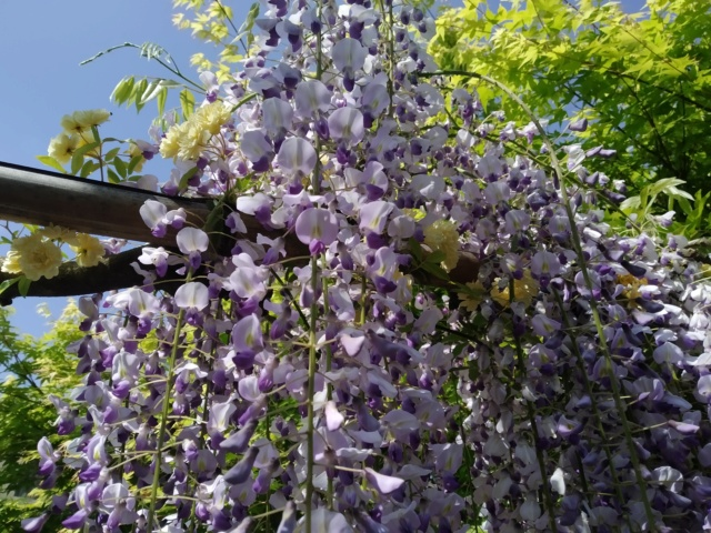 Wisteria - les glycines  - Page 10 Img_2124