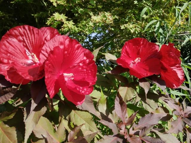 Dernières fleurs d'été, premiers feux d'automne Img_2162