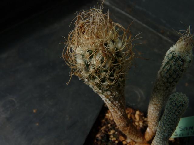 Turbinicarpus schmiedickeanus ssp. flaviflorus P1050810