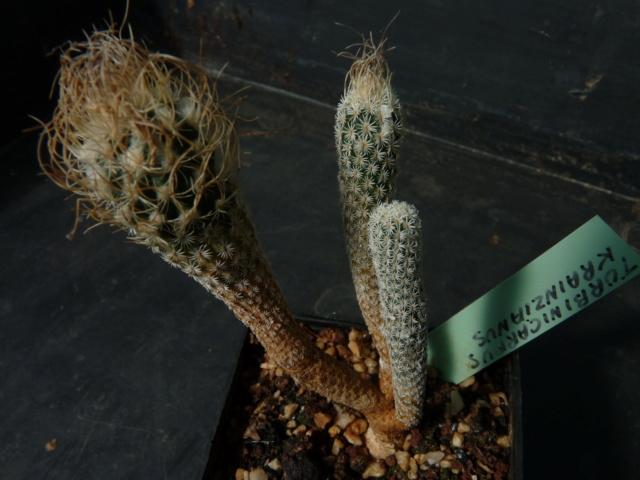 Turbinicarpus schmiedickeanus ssp. flaviflorus P1050811