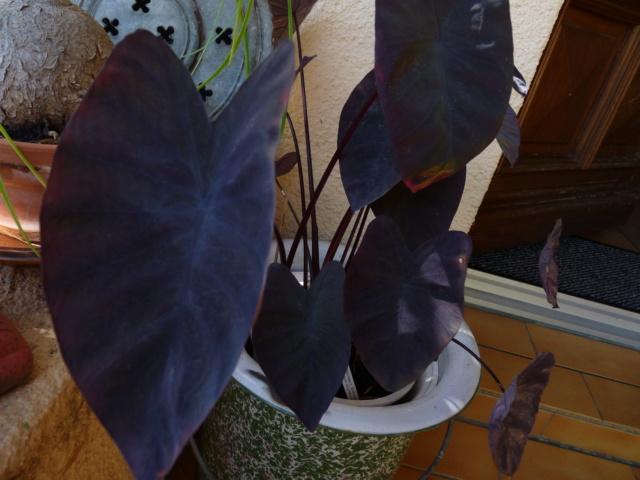 Colocasia esculenta 'Sangria' P1050816