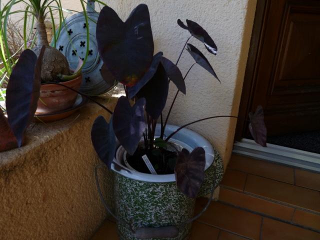 Colocasia esculenta 'Sangria' P1050818