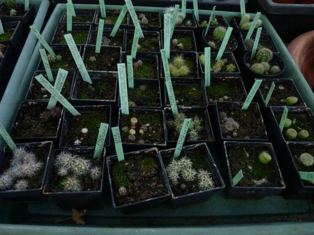 semis de Cactées : Trichocereus et autres - Page 3 P1070023