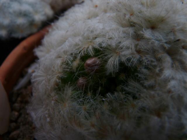 Mammillaria plumosa P1070110
