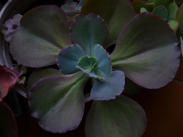 Echeveria gigantea et variabilité P1070119
