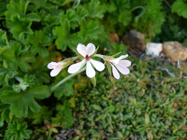 Pelargonium fragans ou pas ? [identification à suivre] P1080315