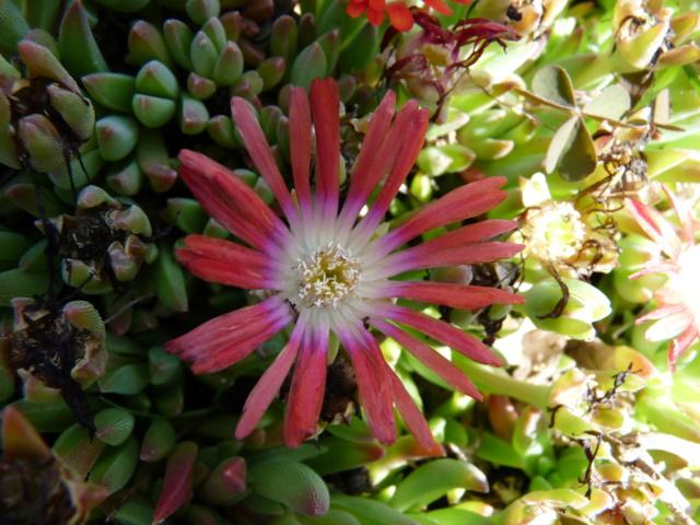 Aizoaceae du jardin  - Page 6 P1080510