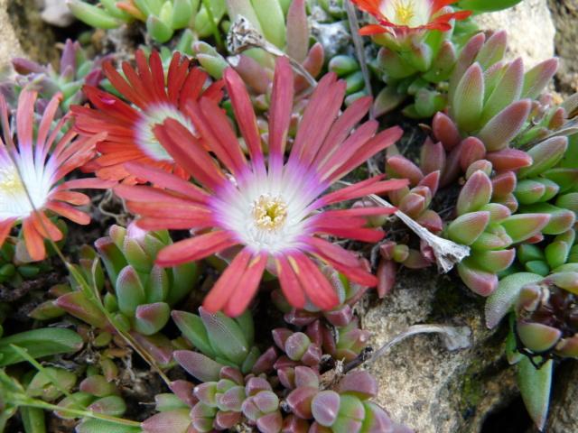 Aizoaceae du jardin  - Page 6 P1080511