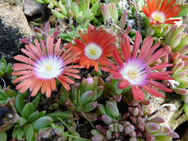 Aizoaceae du jardin  - Page 6 P1080512