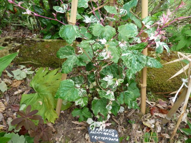 Ampelopsis glandulosa var. brevipedunculata  (= Ampelopsis brevipedunculata) - Page 2 P1080820