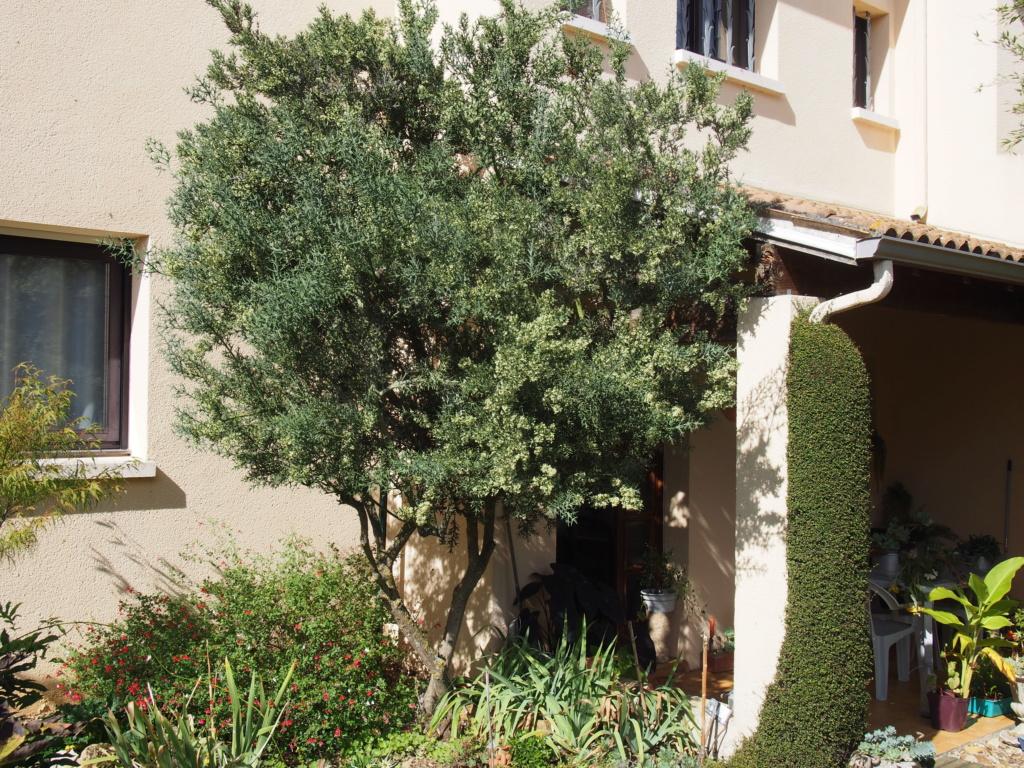 Colletia paradoxa (= Colletia cruciata) Pa030210