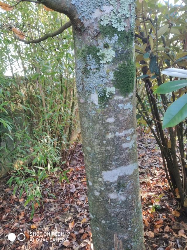 Parrotia persica - arbre de fer - Page 2 Paroti11