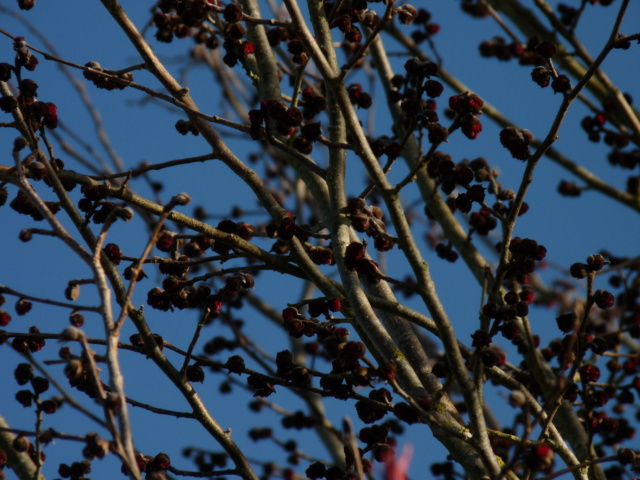 Nos arbres en hiver 2018 Parrot11