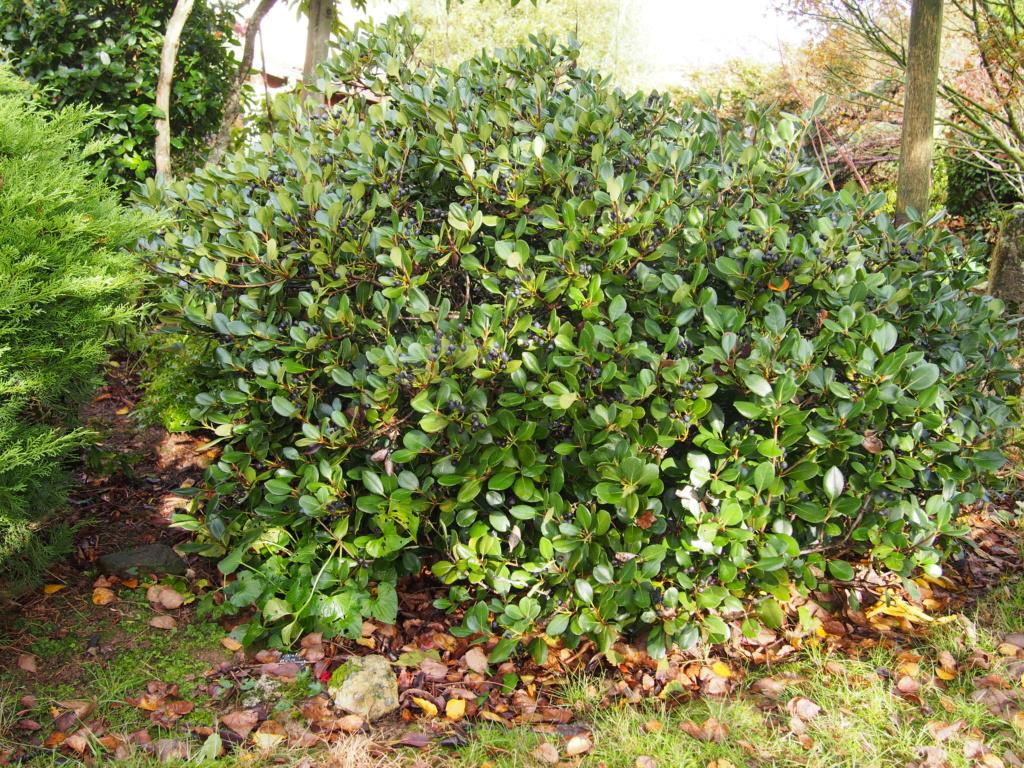 Quel arbuste ? Rhaphiolepis Pb040210