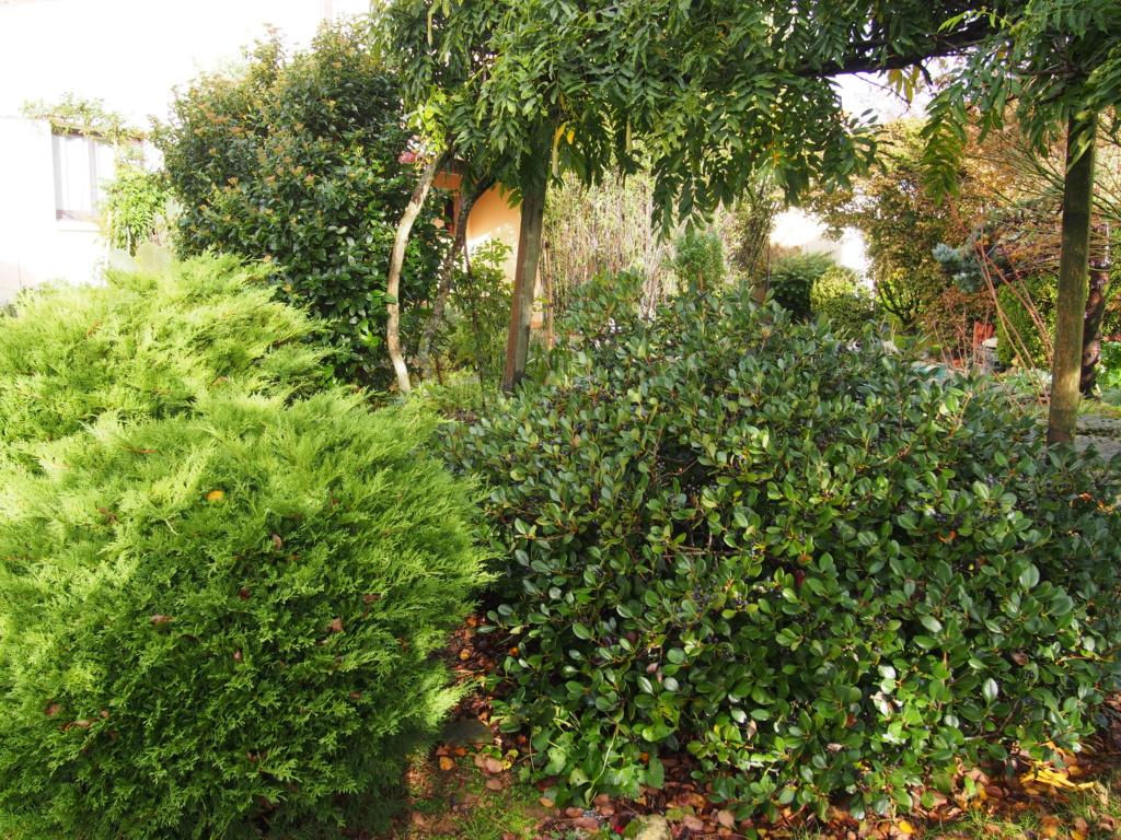 Quel arbuste ? Rhaphiolepis Pb040211
